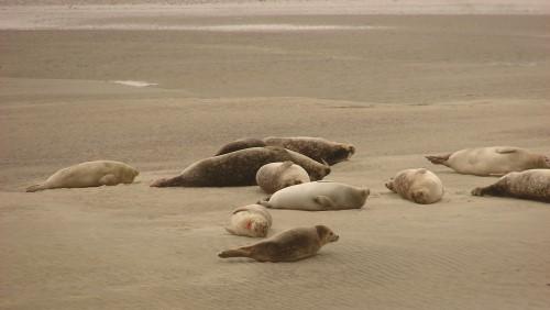 les phoques sur la plage de Berck/mer